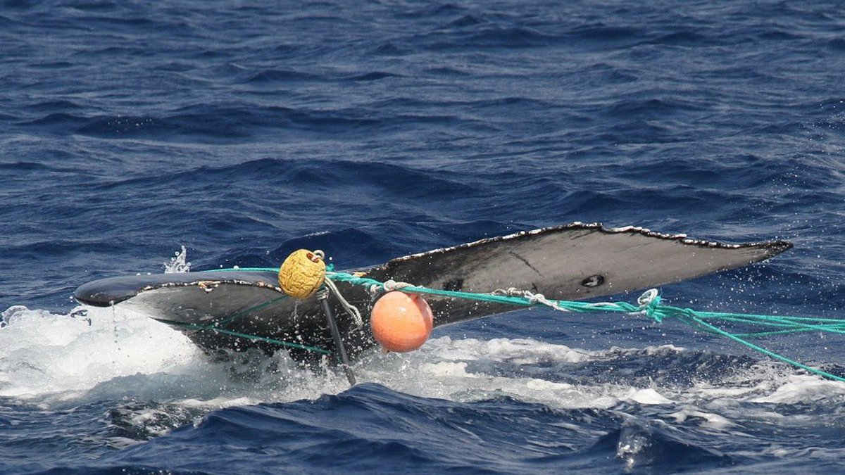 File photo of an entangled whale (Image: Hawaiian Islands Large Whale Entanglement Response...