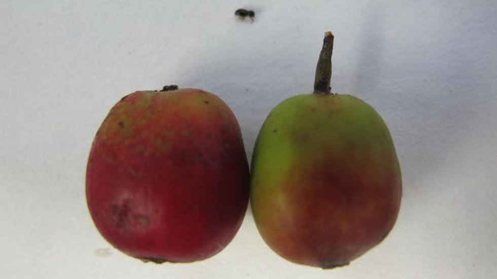 The coffee berry borer (center top) with coffee berries