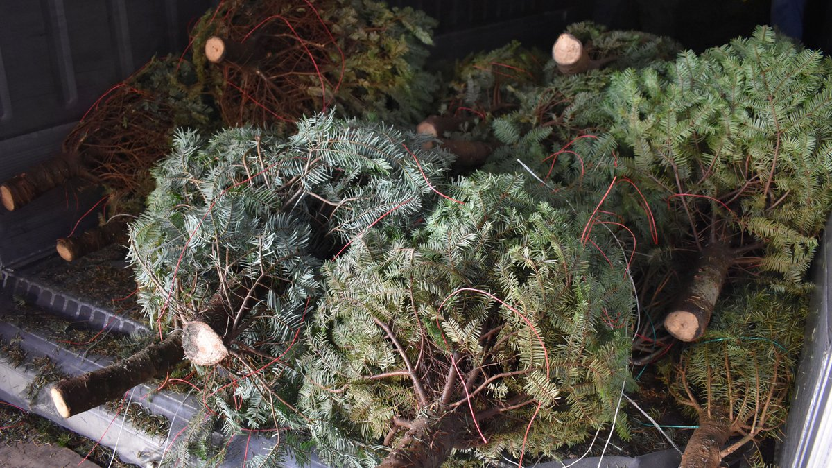 A small garter snake was found in a shipment of Christmas trees from the mainland.