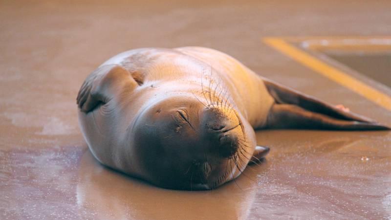 Ke Kai Ola, Hawaii's monk seal hospital, treats seals that are severely malnourished, sick or...