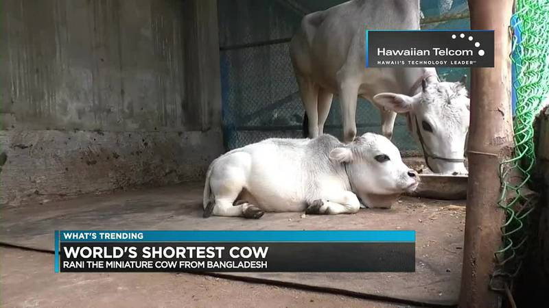 World's Smallest Cow