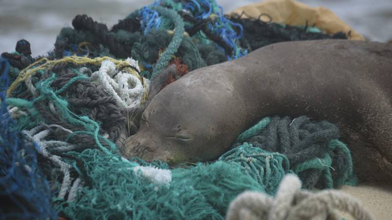 In this April 5, 2021 photo provided by Matthew Chauvin, a juvenile Hawaiian monk seal rests on...
