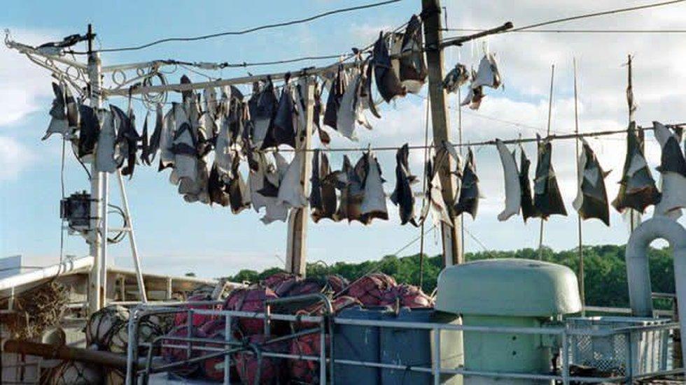 Shark fins drying on fishing vessel, Yap, Micronesia