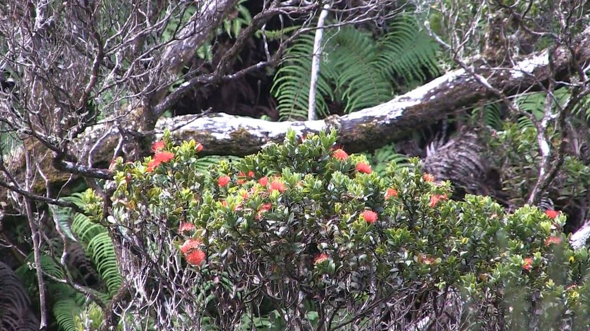 Ohia trees are under threat from a violent fungus that has already killed off thousands of...