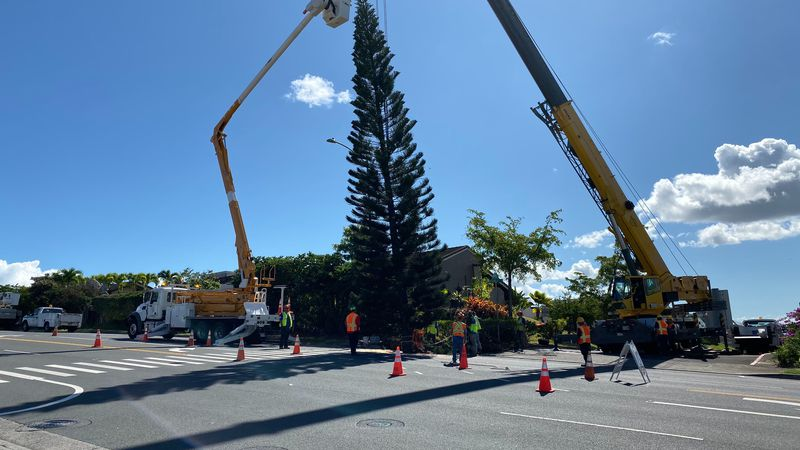 Crews harvested the massive tree in Aiea Tuesday.