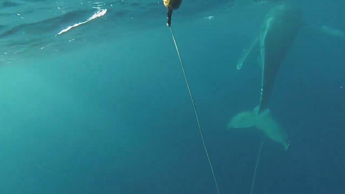 Video captured the entangled whale off Maui.