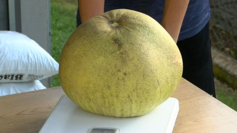 The large fruit weighed in at 12 pounds, potentially setting a new world record.