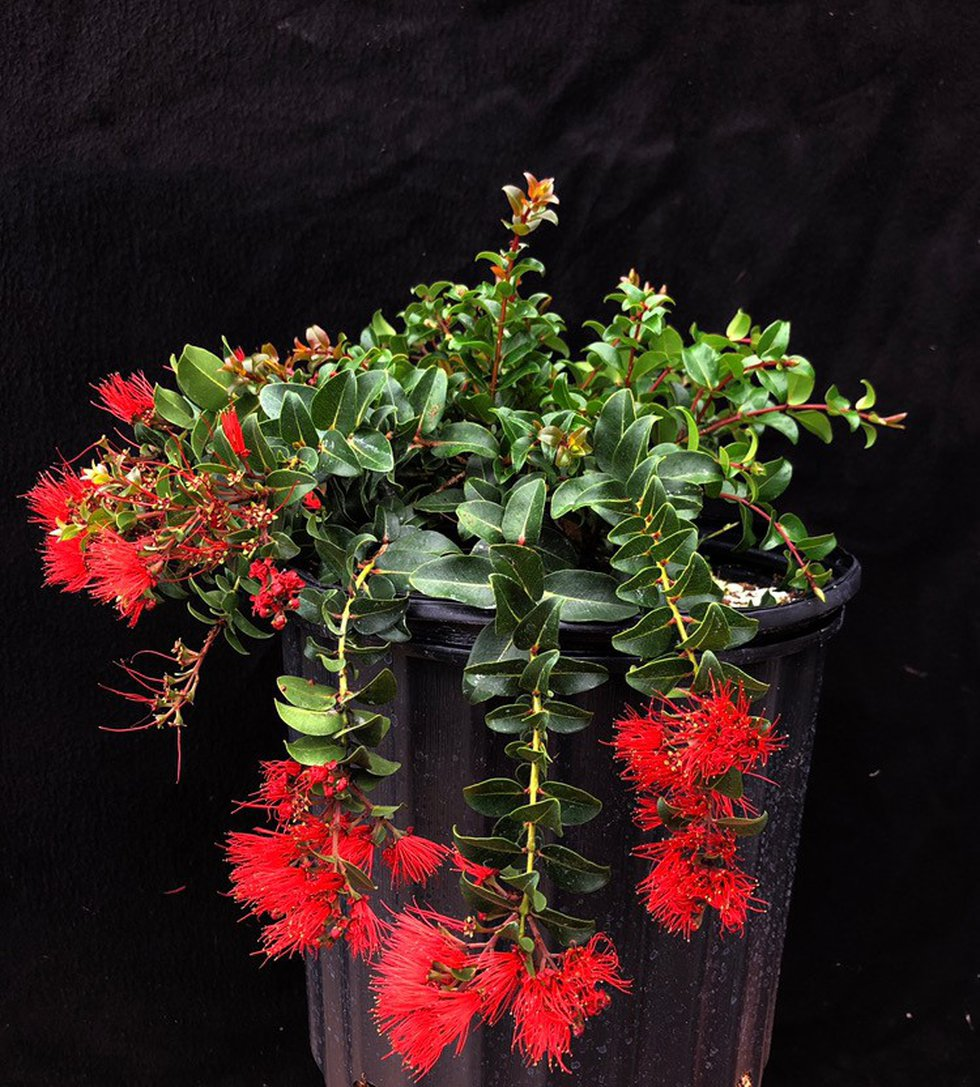 This is a photograph of one of the Ohia Lehua that was stolen from a Kaneohe nursery overnight...