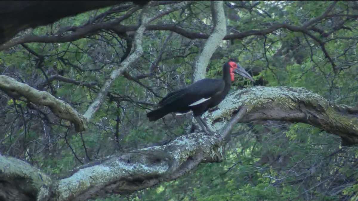 Two African ground hornbills escaped from an storm damaged enclosure at the Honolulu Zoo in...