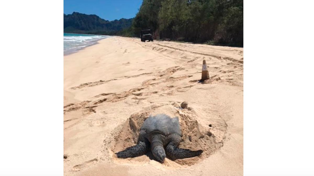 The Marine Corps said 13 endangered Hawaiian Sea Turtles have laid their eggs at Bellows Beach....