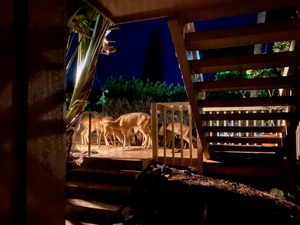 Deer on Molokai nearing a private condo.