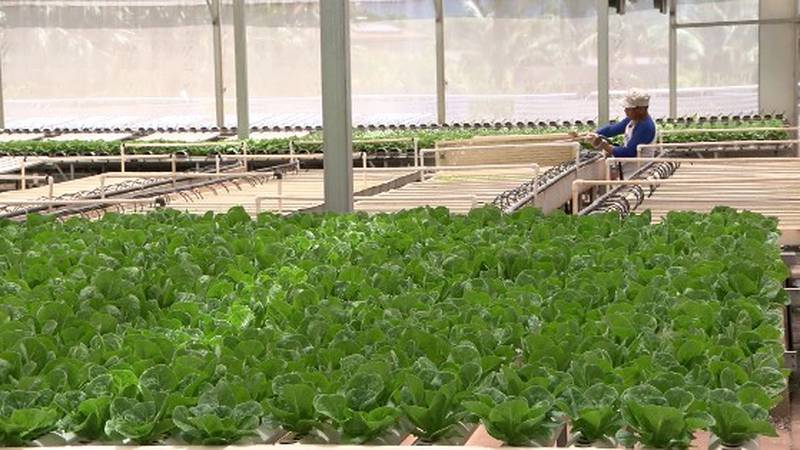 A worker at Mari's Gardens in Mililani tends to the farm's lettuce crop.