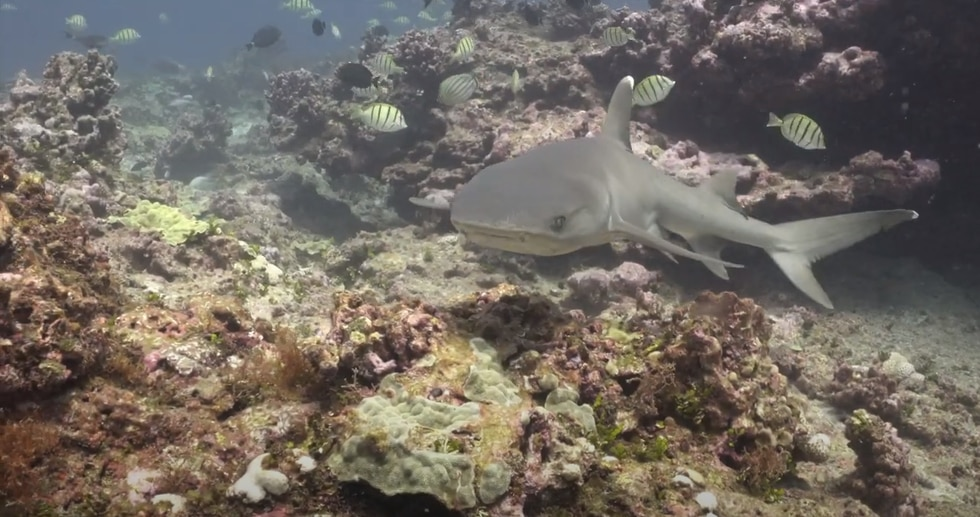 The 1,350 mile stretch of coral islands, seamounts, banks and shoals supports a diversity of...