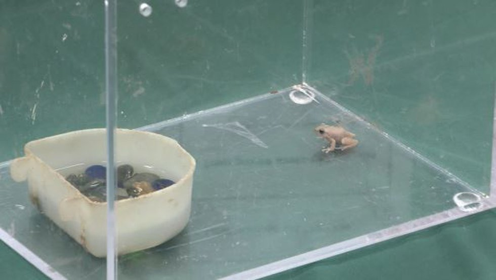 Coqui frog recovered from Palolo Valley this summer