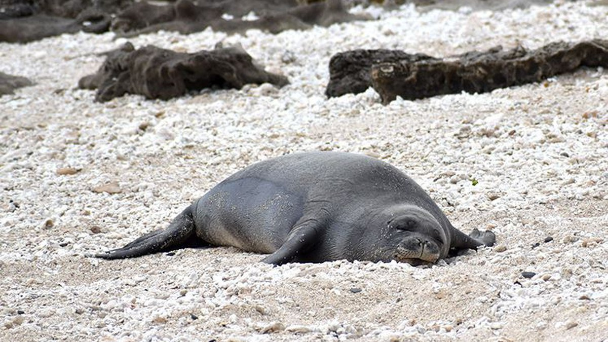 Makoa the monk seal was found dead on Oahu's North Shore. The cause of his death is unknown.