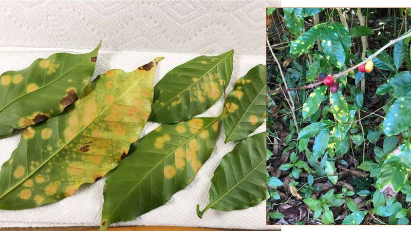 More than a month has passed since the devastating coffee leaf rust fungus was detected in...