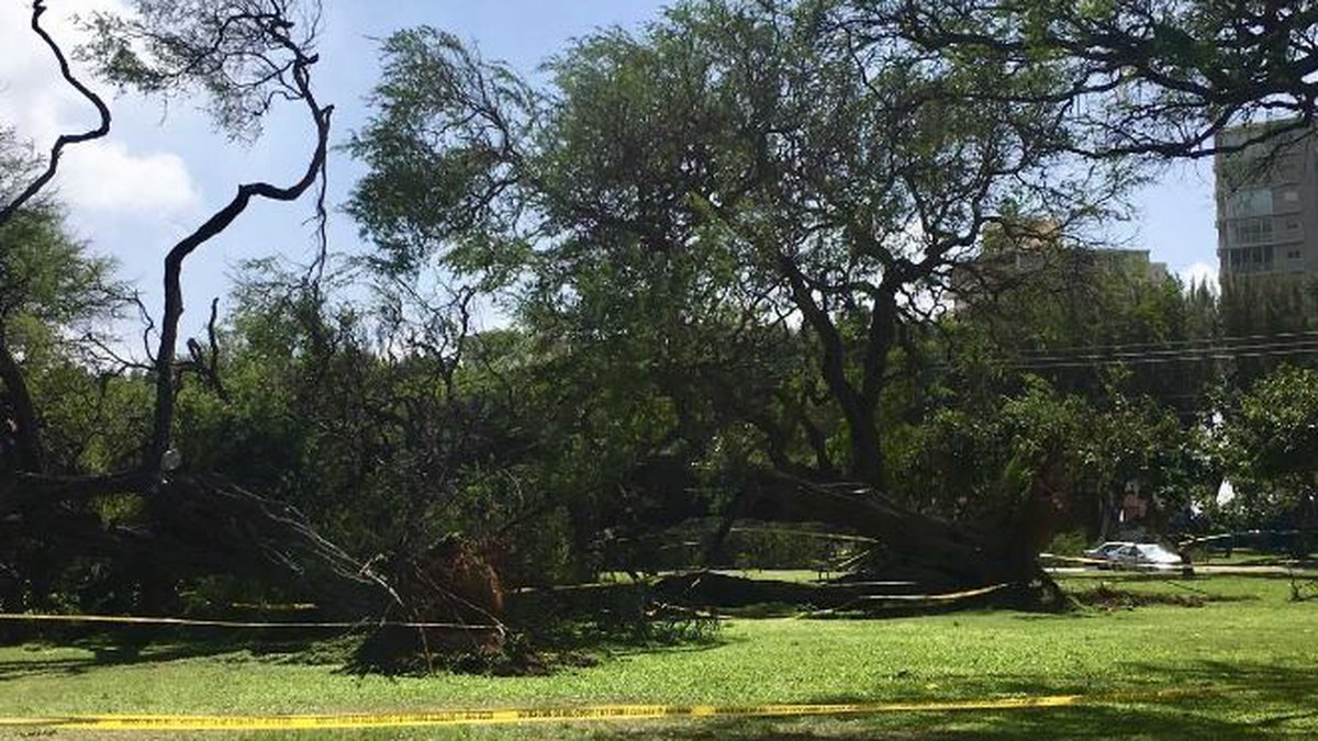 At least three nearly 100-year-old kiawe trees in Kapiolani Park were brought down by strong...