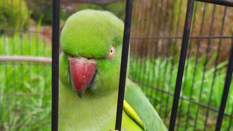 This rose-ringed parakeet was captured in Kihei in July.