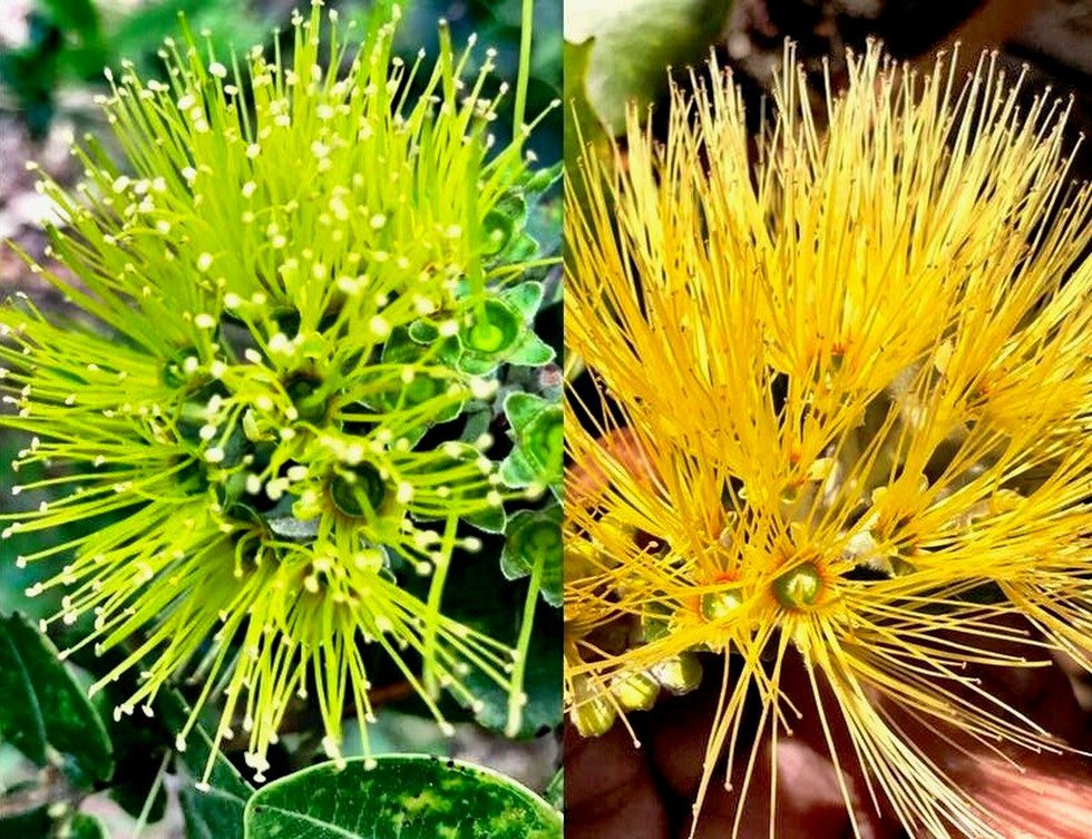 The photo on the left is of the green Ohia Lehua that was stolen from a Kaneohe Nursery...