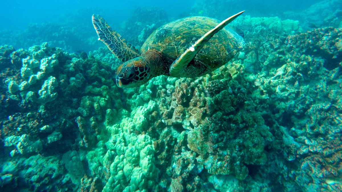 In this Sept. 11, 2019 photo, a green sea turtle swims near coral in a bay on the west coast of...