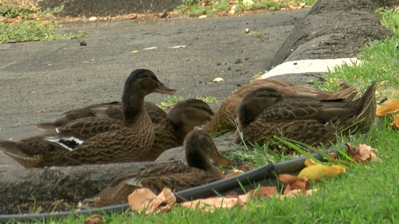 A group of ducks rests in a Hawaii Kai townhouse parking lot, close to where three other ducks...