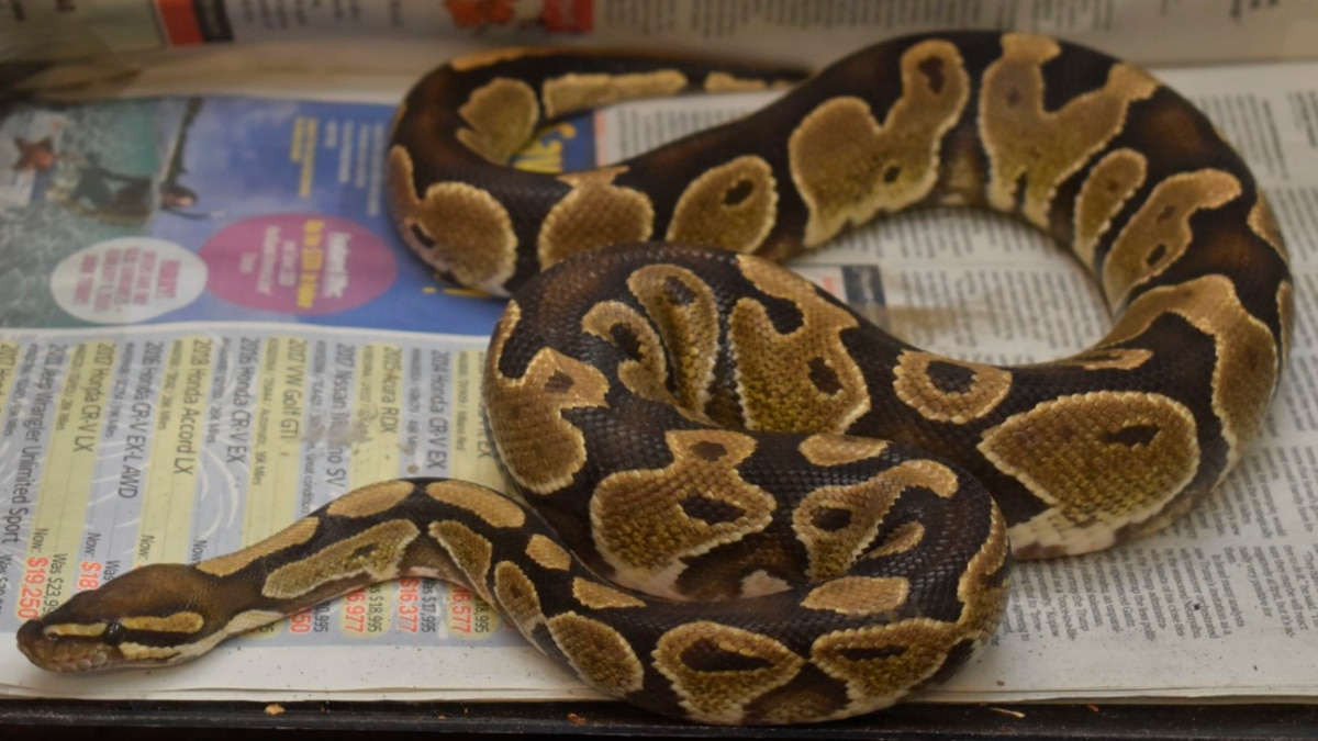 The ball python was turned in to authorities last week.