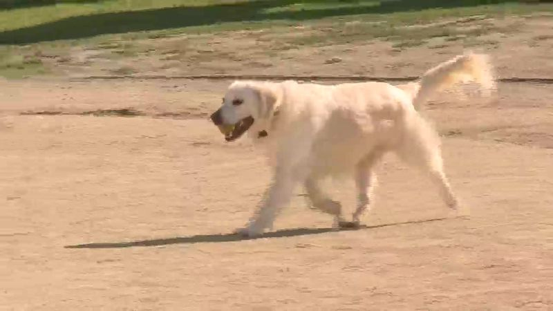 Vets say they're seeing more dogs with burns on their paws because the pavement is too hot to...