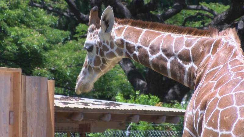 The Honolulu Zoo recently welcomed two new reticulated giraffes from New Mexico.