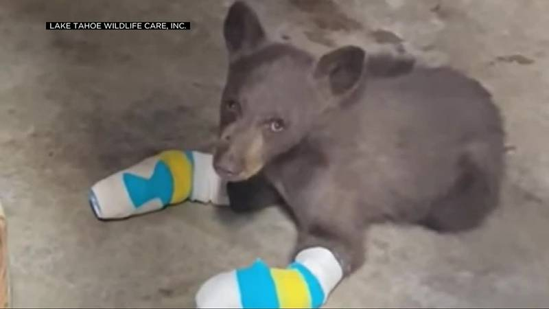 A search is underway for an injured cub that escaped from a wildlife rescue.