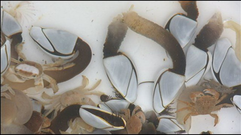 Experts believe the container is covered with gooseneck barnacles and crabs which aren't found...