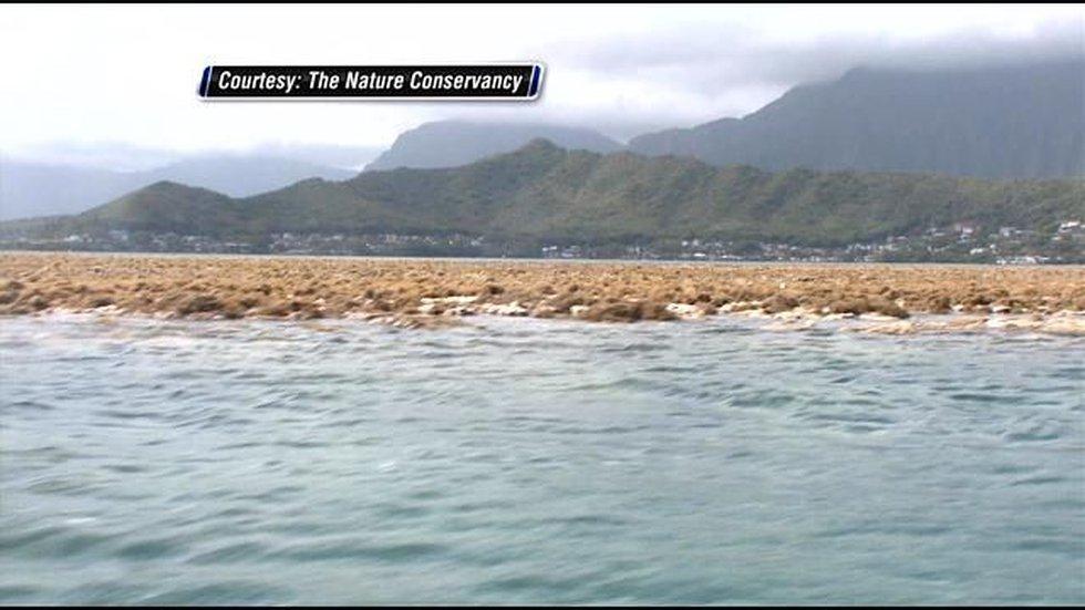 Invasive seaweed in Kaneohe Bay