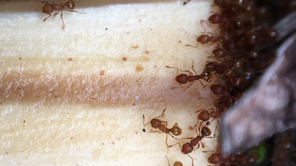 Little Fire Ants have been found in Hawaii Volcanoes National Park. (Image: NPS)