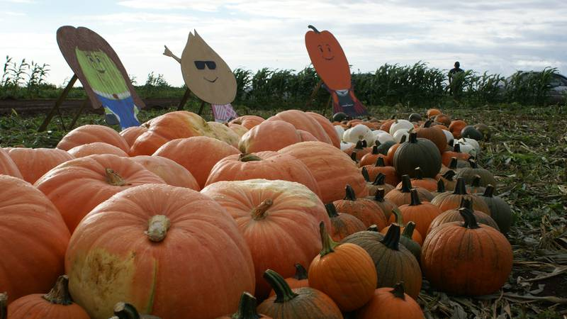 A large collection of pumpkins is available at the Aloun Farms Great Pumpkin Harvest.