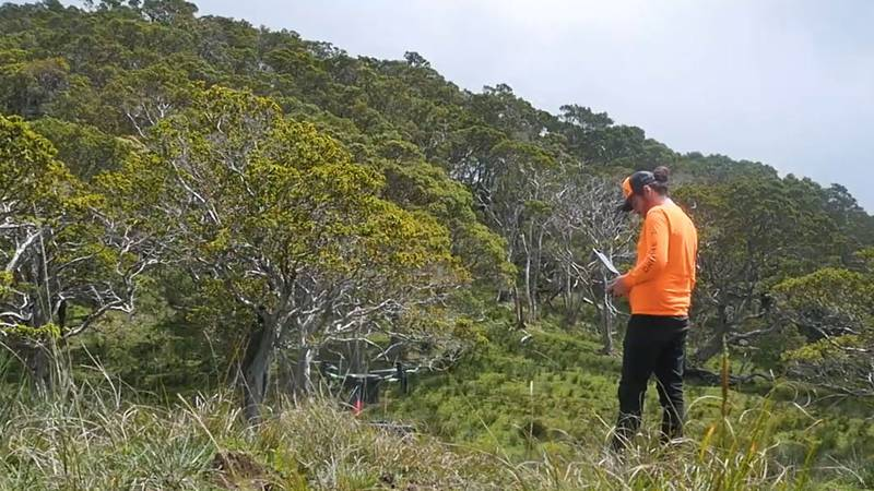 A new study suggests a link between Rapid Ohia Death and feral pigs and sheep. A research team...