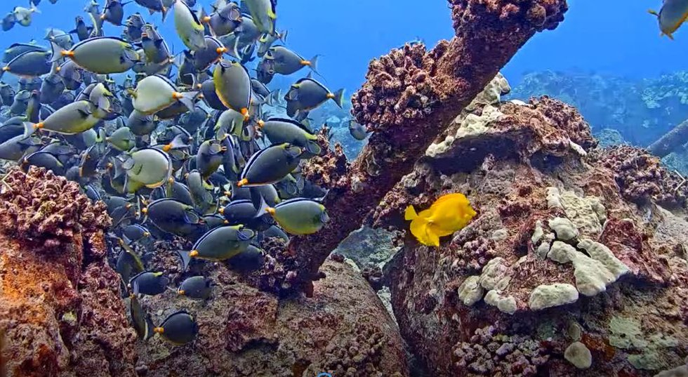 Must-see TV: People can't get enough of this Hawaii live feed from under the sea