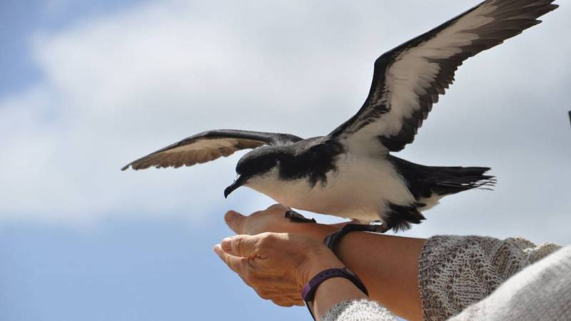 File photo of a Newell's shearwater species